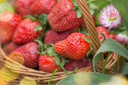 Background of ripe strawberries. Heap of ripe red strawberries. Set of red and ripe strawberries