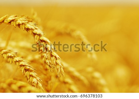 Background of ripening ears of wheat. #696378103