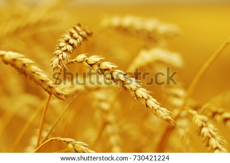 Background of ripening ears of wheat. #730421224
