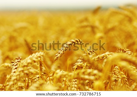 Background of ripening ears of wheat. #732786715