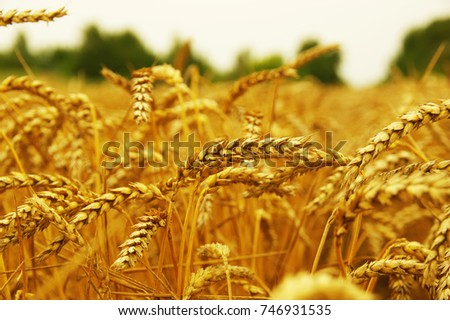 Background of ripening ears of wheat. #746931535