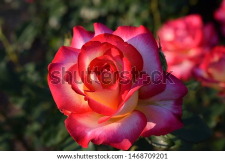 """background of rose bushes. Pink rose """"Leo Ferre"""" (Adabiterse). Single-colored petals of terry flowers along the edges are decorated with a bright edging of contrasting hue."""