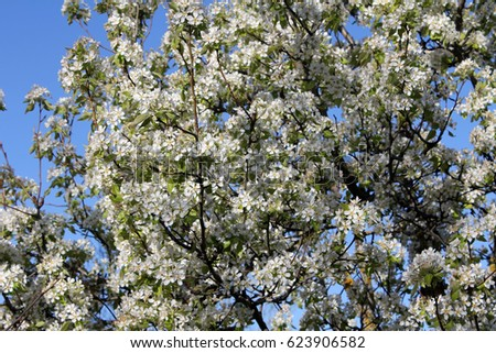Background of spring white cherry blossoms tree. #623906582