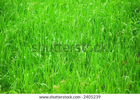 Background of tall grass wet from rain #2405239