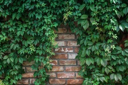 Background of textured old brick wall with climbing plant Virginia creeper (virgin grape, lat. Parthenocissus quinquefolia) on it .
