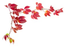 Background of the branches of maiden grapes, known as Virginia creeper with autumn leaves on white background
