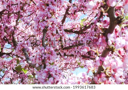 Background of the pink blooming branch of spring tree close up. Apple tree. Cherry tree. Natural and season backgrounds.