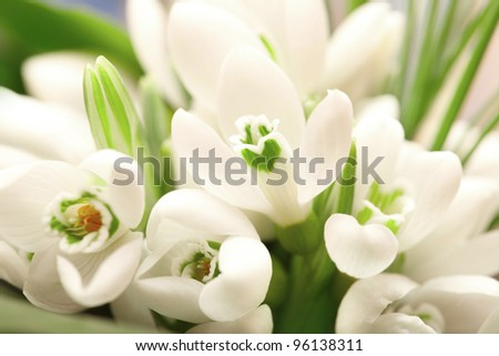 Background of the snowdrop flowers and green leaves