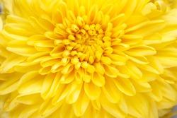 Background of vibrant yellow mum flower close up.