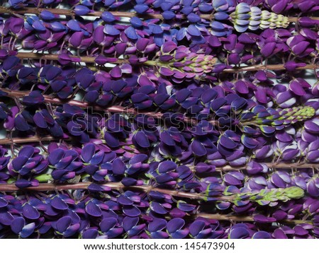 background of violet lupine flowers