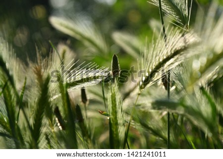 Background of wall barley or false barley in summer