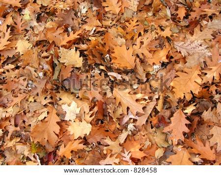 Background of warm brown fall oak leaves