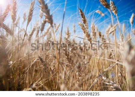 Background of wheat ears and blue sky with lens flare effect
