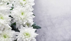 Background of white chrysanthemum flowers. Young buds of white flowers.