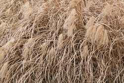 Background of withered grass with large ears of corn quality background, texture for further graphic work