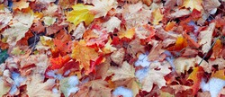 background of yellow autumn leaves in snow