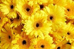 Background of yellow  gerberas, horizontal