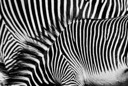 Background of zebra stripe pattern
