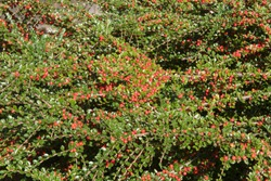 Background or Texture of the Autumn Red Berries and Green Leaves of the Dwarf Cotoneaster horizontalis (Rock or Wall Spray) in a Garden in Rural Devon, England, UK