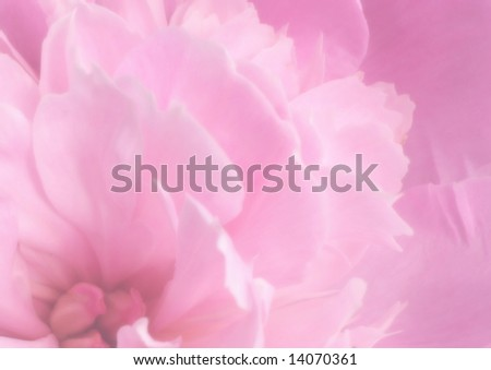 Background - petals of a peony of pink color