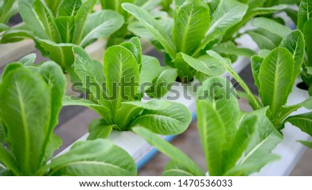 Background photo of green lettuce (Cos Lettuce) been plant by hydroponics method. Hydroponics is a method of growing plants without soil by instead using mineral nutrient solutions in a water solvent.