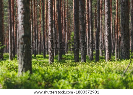 Background pine forest with green lush blueberry grass. Focus in foreground, blurred background. Foto stock ©