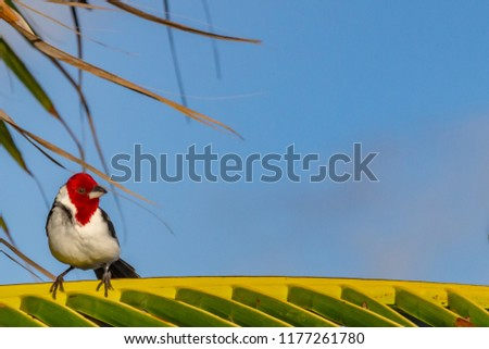 Background - Red-cowled Cardinal perched on Palm Tree, for your photo montage or product display