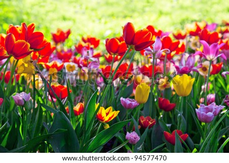 Background. Red, yellow, maroon tulips.