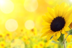 background sunflower with bokeh and back light