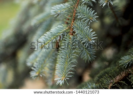 Background texture. A branch of green spruce close-up. Macro, horizontal, cropped shot, free space. Nature's concept.