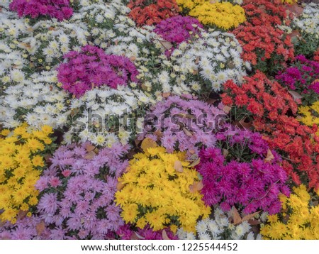 Background, texture. Autumnal, colorful flowers, multi-colored crisantemos Foto stock ©