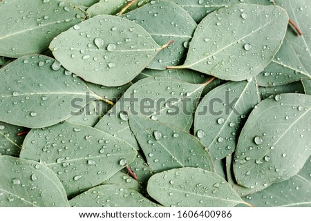 Background/Texture made of green eucalyptus leaves with raindrop, dew. Flat lay, top view