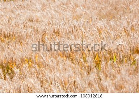 background texture of a corn field partly with motion blur from the wind