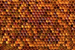 Background texture  of a section of wax honeycomb from a bee hive filled with golden honey|. Beekeeping concept