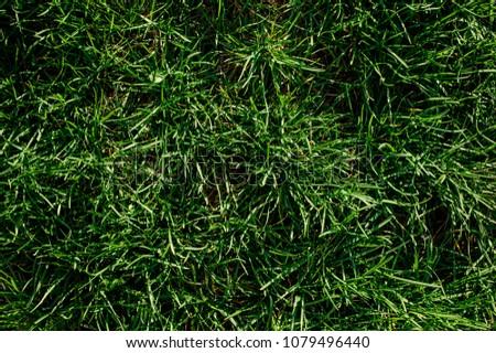 Background texture of a succulent green grass. Best green plant background texture for your design