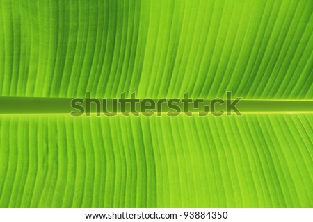 Photo of background texture of banana leaf for your design