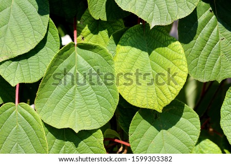 Background texture of dense Kiwi or Kiwifruit or Chinese gooseberry woody vine plant large yellow to green leathery leaves and hairy stems planted in local home garden on warm sunny summer day