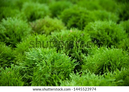 Background, texture of evergreens, thuja background #1445523974
