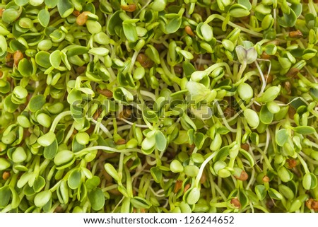 background texture of fresh clover and radish sprouts - stock photo