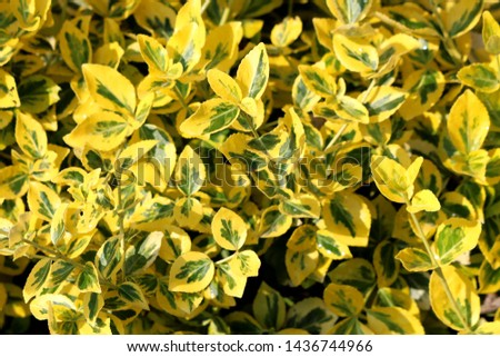 Background texture of Golden Euonymus or Euonymus japonicus Aureo marginatus evergreen densely planted shrub with large leathery glossy oval shaped dark forest green and broadly edged bright
