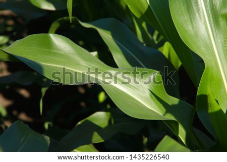 Background texture of green leaf of corn on a sunny day. Horizontal, free space, cropped shot, side view. Concept of nature and agriculture.
