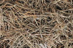 Background, texture of old fallen needles