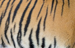 background texture of real bengal tiger skin