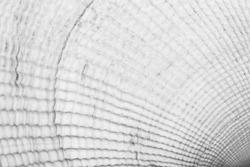 background texture of white seashell, black and white macro photo