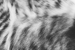 Background texture striped cat fur, wool close up, black and white photo