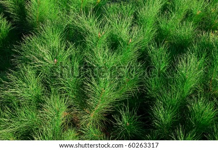 Background - the green branches of pine.