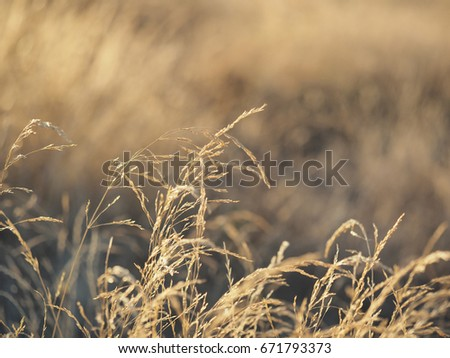 Shutterstock Background wheat sunset