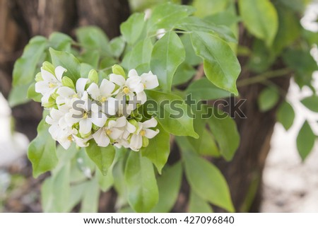 Background white flowers in thailand sweet smell ez canvas background white flowers in thailand sweet smell mightylinksfo