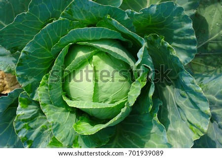Background with big fresh cabbage closeup