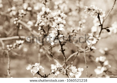 Background with blossoming almond trees. Sepia picture with blossoming almond. Sepia flowers.
